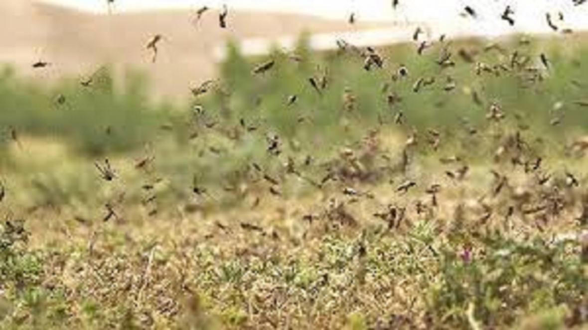 تداوم مبارزه با ملخ صحرایی مهاجر در شهرستان خاش