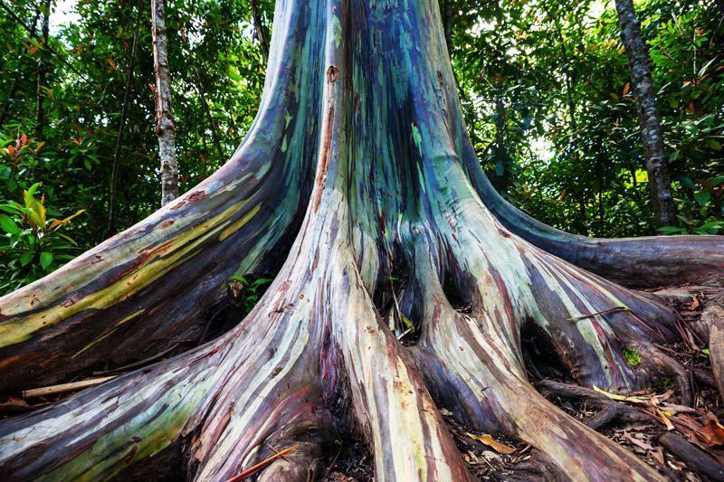 درختی شگفت انگیز با تنه ایی رنگی ! درخت رنگین کمان (Rainbow Eucalyptus)
