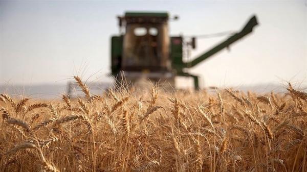 آیا گندم هم به سرنوشت مرغ دچار می گردد؟