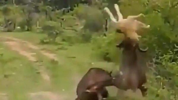 حمله مرگبار بوفالوی خشمگین به شیر!
