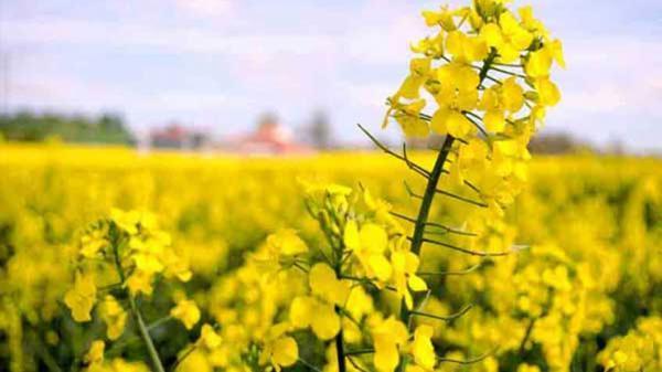 توصیه جهاد کشاورزی به کلزاکاران گلستانی