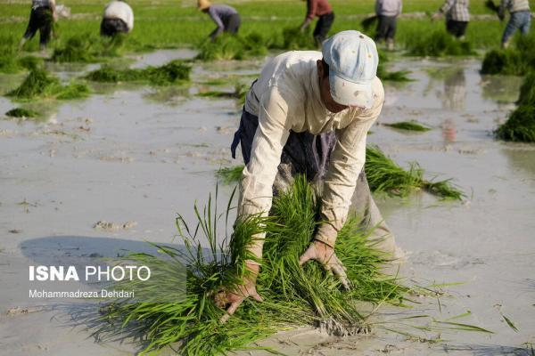 تصاویر، برنج کاری در اوج کم آبی