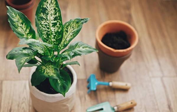 راهنمای کامل پرورش و نگهداری گیاه دیفن باخیا در خانه